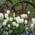 Wagon Wheel Tulips by Louise Magno
