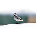 Wagtail by Nick Patrin