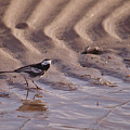 Wagtail On West Sands by Adrian Wale