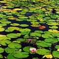 Wailea Water Lilies by Jennifer Ott