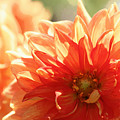 Waking Up To Dahlia Sunshine by Carol Groenen