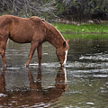 Walk Horse In Salt River by Dave Dilli