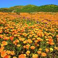 Walker Canyon Wildflowers by Lynn Bauer