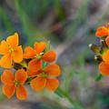 Wallflower Wildflower by Cascade Colors