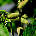 Walnut Buds by Lisa Jayne Konopka