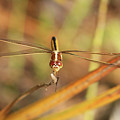 Wandering Glider Dragonfly by Maili Page