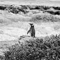 Wandering Penguin From Argentina by Trude Janssen