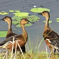 Wandering Whistling Ducks by Evie Hanlon