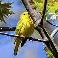 Warbler In Yellow by Libby Lord