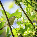 Warbling Vireo - Magee Marsh, Ohio by Jack R Perry