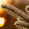 Warm Frost On Pine Needles by Chris Bordeleau