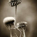 Warm Thistle by Marilyn Hunt