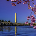 Washington Reflection And Blossoms by Nick Zelinsky