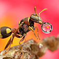 Wasp Blowig Bubble 160507e by Lim Choo How