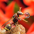 Wasp Blowing Bubble 16057b by Lim Choo How