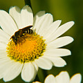Wasp On Daisy by Douglas Barnett
