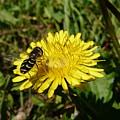 Wasp Visiting Dandelion by Valerie Ornstein