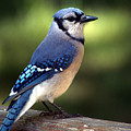 Watchful Blue Jay by Clayton Bruster