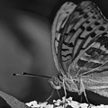 Watchful Butterfly by Photos  By Zulma
