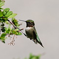 Watchful Male Hummer by Sandra Updyke
