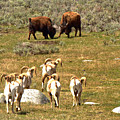 Watching The Bison Bawl by Adam Jewell