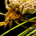 Water Beetle Brooding Eggs by Dant� Fenolio