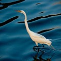 Water Bird Series 30 by Stephen Poffenberger