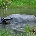 Water Buffalo by Rashdy Arshad
