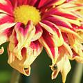 Water Drop On A Chrysanthemum by CJ Park