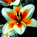Water Droplet Covered White Lily  by Andee Design