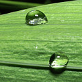 Water Droplet On A Leaf by Ofer Zilberstein