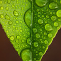 Water Droplets On Lemon Leaf by Ralph A  Ledergerber-Photography