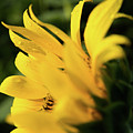 Water Drops And Sunflower Petals by Dennis Dame