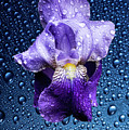 Water Drops On Purple Iris by Hans Schrodter