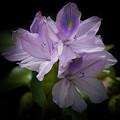 Water Hyacinth by Ernie Echols