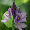 Water Hyacinth by Jenny Gandert