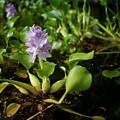 Water Hyacinth by Wayne Wilkinson
