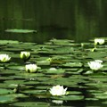 Water Lilies 3 by John Feiser