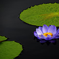 Water Lilies, Aligned  by Rich Despins