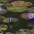 Water Lilies by Allen Lefever