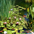 Water Lilies And Koi Pond by Elaine Plesser
