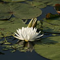 Water Lilies And Pads by Shirley Sykes Bracken