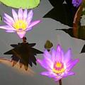 Water Lilies by Caroline  Urbania Naeem