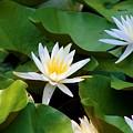 Water Lilies by Dana Blalock