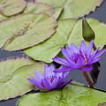 Water Lilies by Diane Macdonald