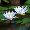 Water Lilies II by Robert Meanor