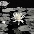 Water Lilies In Black And White by Phyllis Denton