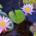 Water Lilies In Kauai by Marie Hicks