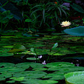 Water Lilies In The Pond by Bonnie Follett