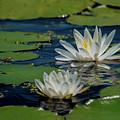 Water Lilies by Paul Mashburn